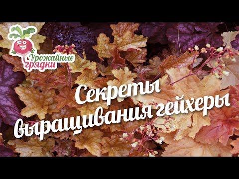 Секреты выращивания гейхеры #urozhainye_gryadki