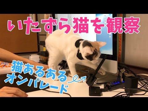 パソコン作業中に猫は何をしてくるのか観察してみた【猫あるある】