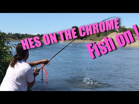 American River King Salmon California Chrome
