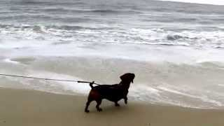 Dachshund Puppy Meets The Ocean: This Dachshund Puppy React To Seeing The Ocean For The First Time
