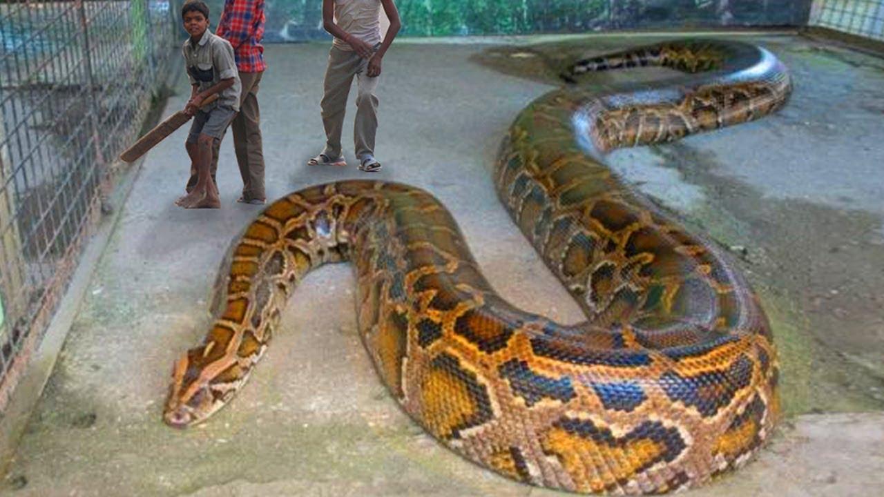 100 Pictures of Anaconda Vs Piton Pelicula