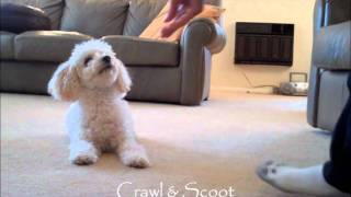Miniature Poodle Tricks #2