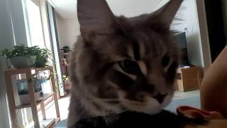 (Big Cat Maine Coon) Coony wakes me every morning 모닝콜 하는 메인쿤