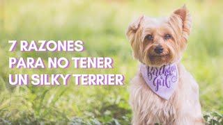 7 Razones para NO tener un silky terrier | Diferencias entre yorkies y silkies