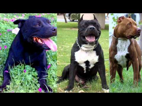 Rottweiler Vs Pitbull Fight Video Rottweiler Vs Pitbull Fight