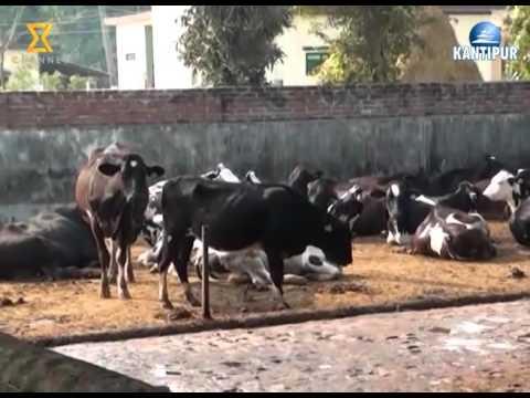 Market Watch 03 Jan 2016 - Model Cow farm