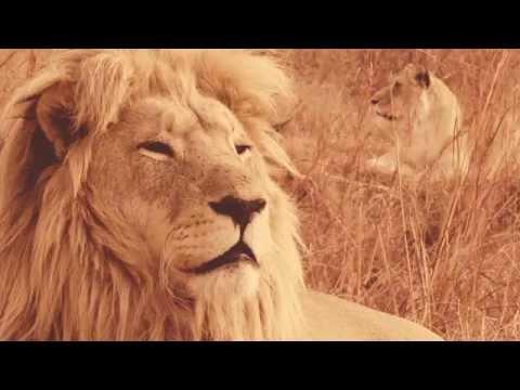 Saisonstart in Südafrika: Streichelfarmen sind Teil der Löwenindustrie