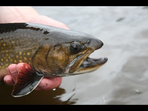 Spring Creek Brook Trout | Ontario