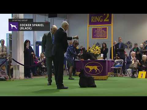 Spaniels Cocker Black | Breed Judging 2019