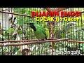 Tembakan Emosi Cucak Ijo Gacor Bongkar Isian Mewah  Mp3 - Mp4 Download