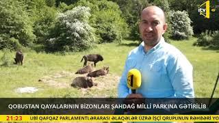 Qobustan qayalarının bizonları Şahdağ Milli Parkına gətirilib
