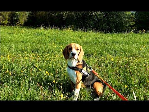 Вопрос: Тибровансон. Что известно об этой породе собак?