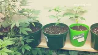 Marijuana Seedling Q and A for Home Weed Grow Op.