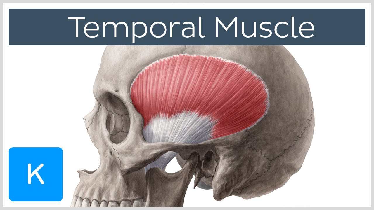 Temporal Muscle Anatomy Overview Human Anatomy Kenhub Youtube