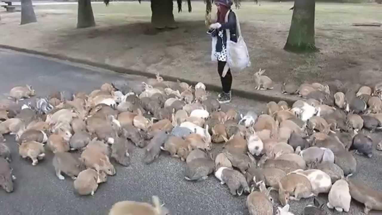 Rabbits On Okunoshima Island Swarm Tourist