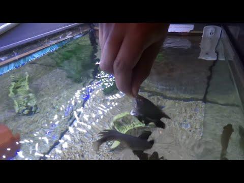 Hand Feeding Tiger Oscars Oscar Fish Jump Out Of Aquarium Youtube