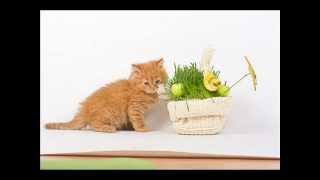 Британские длинношерстные котята и кошки Питомник KisKas