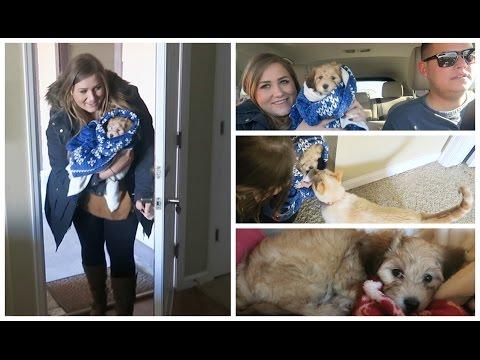 BRINGING HOME BERNIE! Our 8 Week Old  Havanese Puppy!
