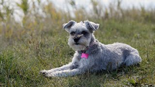 Miniature Schnauzer Goes To The Park!