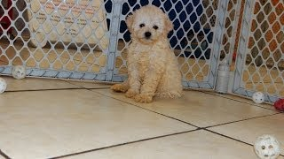 Toy Poodle, Puppies For Sale, In Atlanta, Georgia, Ga, Savannah,sandy Springs, Roswell