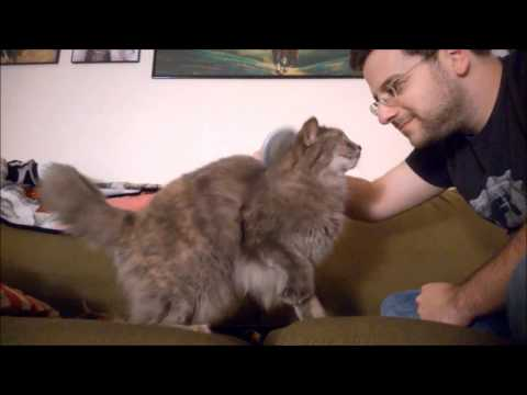 Maine Coon Cat Loves Brushings - Olive the Cat