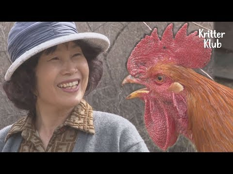 Have You Ever Seen Cute Pet Chickens Stalking An Attractive Lady? | Kritter Klub