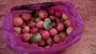 видео Как спасти томаты от фитофтороза?