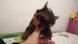 Yorkshire Terrier De Vanzare, Talie Foarte Mica; Detalii 0749 415 412; 0770 930 966