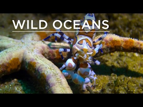 Harlequin Shrimp Feasts On Live Starfish