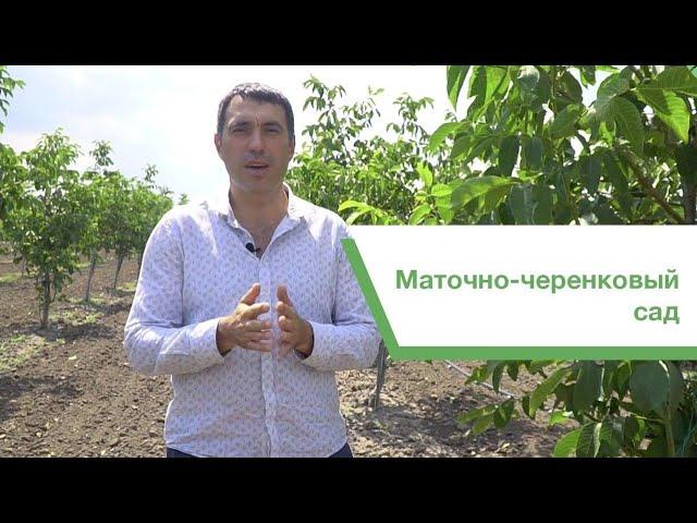 Маточно-черенковый сад