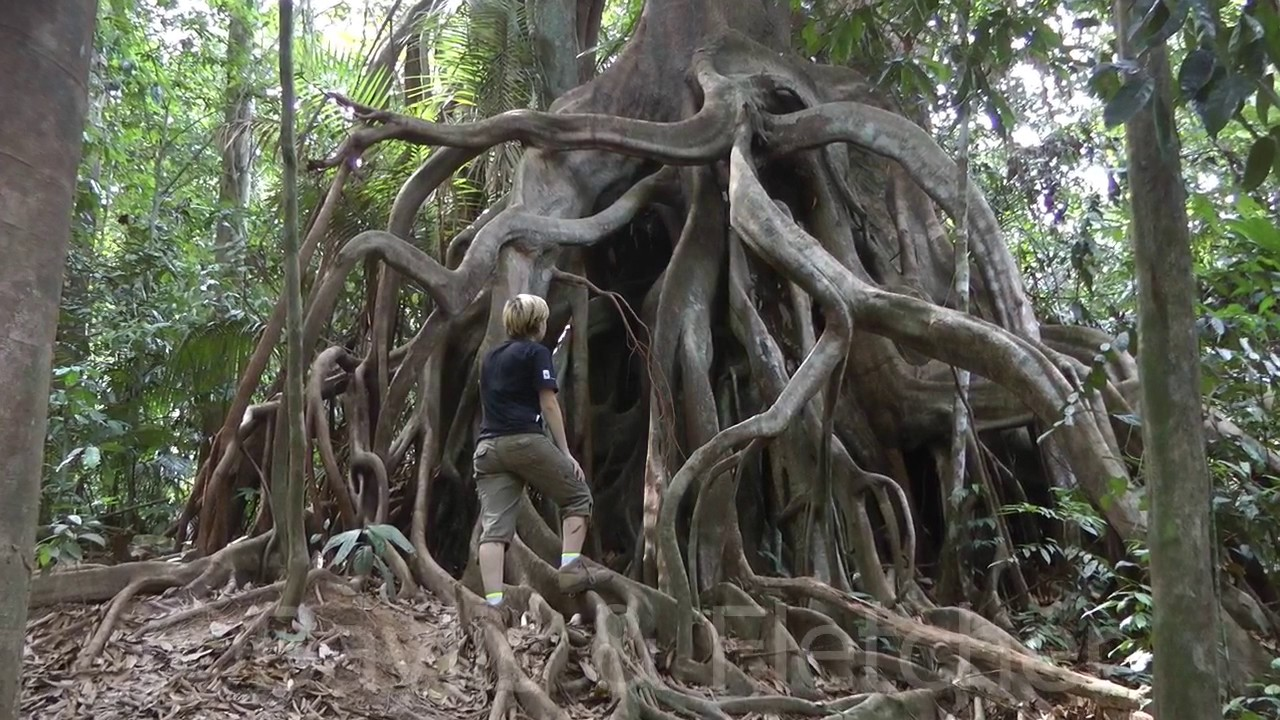 fig tree aerial roots  taman negara  malaysia  20160805
