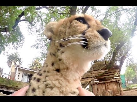 African Cheetah Loves Attention | Big Cat Spends Enrichment Time Visiting Man | Purrs & Licks Friend