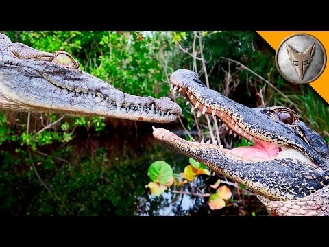 Thumbnail: Alligator vs Crocodile!