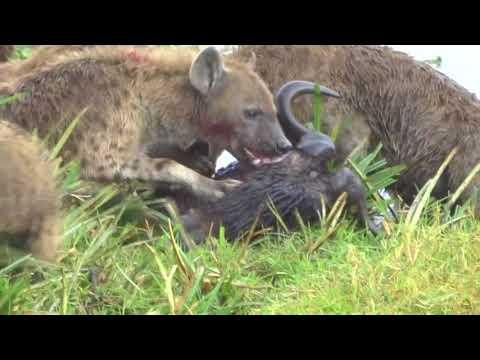 Wildebeest kill in Ngorongoro Crater Part 3