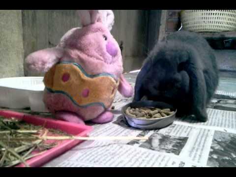 กระต่ายหูตก แก้มตุ้ยของน้องแตง