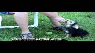 Dog Training Maltese X Yorkie Puppy With Play Retrieve - Dog Trainer