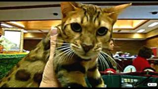 Bengal Cats  -  TICA Championship Breeds - 2010 Kelowna