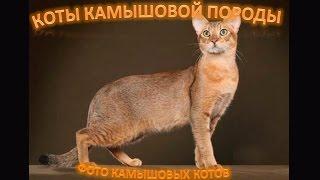 Камышовые коты, красавцы!