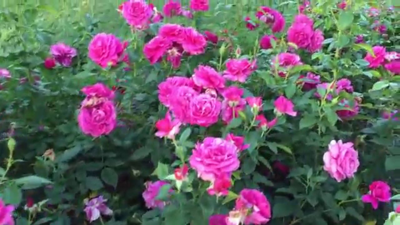 Pretty Lady Rose (co-staring Good As Gold)