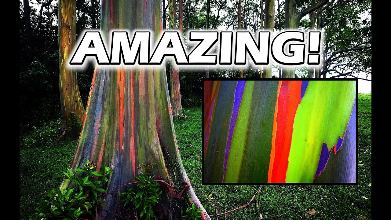 Growing RAINBOW Eucalyptus Trees is Amazing! Rainbow Tree for Sale ...