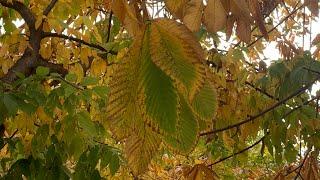 화려한 칠엽수단풍• 잎이 일곱개인 칠엽수 낙엽  • 조…