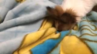 寝床を作るために毛布をパンチしています。 5ヶ月のパピヨンです。