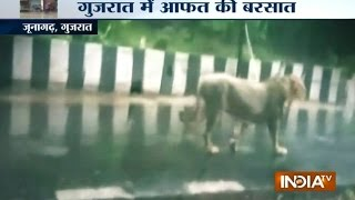 Gujarat Rain: Heavy rain forces lioness to come up on street in Junagarh | India Tv