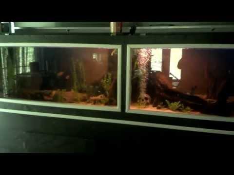 Tiger Oscar and a Red Oscar & Red Belly Piranha | Doovi