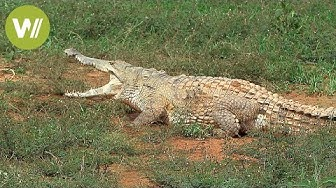 Orinoko-Krokodil: Das größte Raubtier Südamerikas