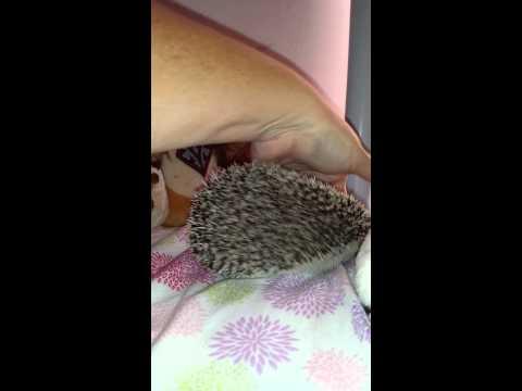 Hedgehog spike