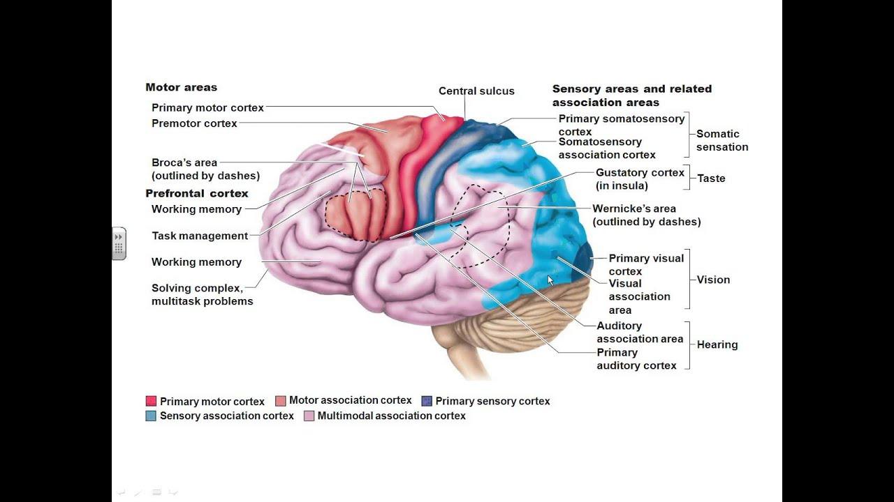 Dr. Parker\'s A&P I Chapter 12 part 1 cerebrum - YouTube
