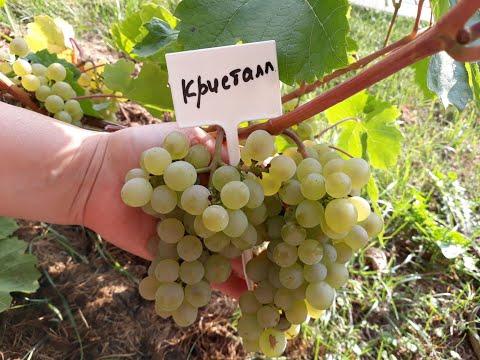 КРИСТАЛЛ - виноград,  описание сорта