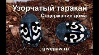 Экзотический насекомые - содержание дома узорчатых тараканов
