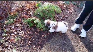 Louis The Shih Tzu Puppy Enjoying His First Big Walk